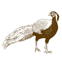engraving of silver pheasant vector image
