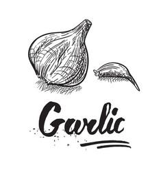 garlic hand drawn vector image