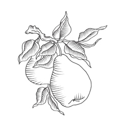 Pear and leaf on the branch fresh fruit tree vector