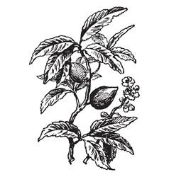 Almond tree vintage vector