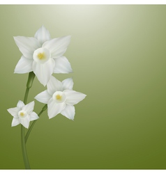 Flower narcissus vector image