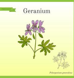 geranium or pelargonium medicinal and aromatic vector image