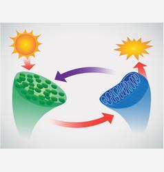 Photosynthesis vector