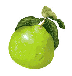 Pomelo fruit on the branch of citrus tree in vector