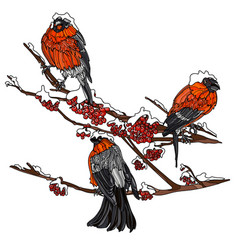 bullfinches on the branches of mountain ash vector image