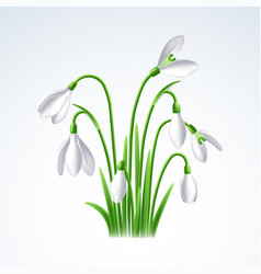 first spring flowers snowdrops on white vector image