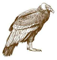 Engraving drawing of condor vector