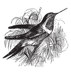 Ruby throated hummingbird vintage vector