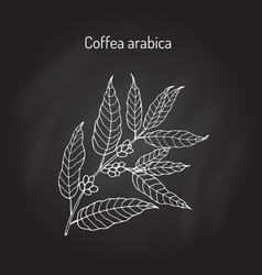 hand drawn coffee tree branch vector image