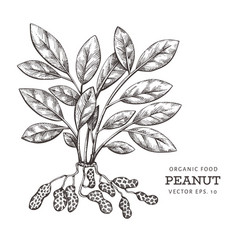 Hand drawn peanut branch and kernels organic food vector