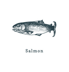 salmon fish sketch in vector image