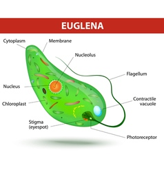 Structure of a euglena vector image