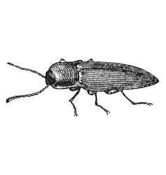 Click beetle vintage vector