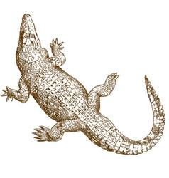 Engraving drawing big crocodile vector