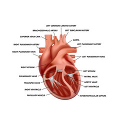 Realistic cross-section heart anatomy vector