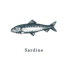 sardine fish sketch in vector image