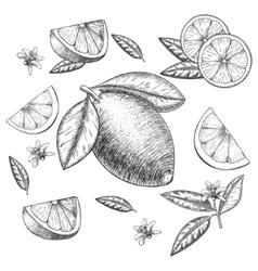 hand drawn lime or lemon set Whole vector image