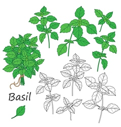 Basil set vector