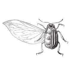 Enlarged potato beetle vintage vector