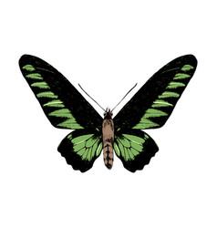 hand drawn rajan brookie birdwing butterfly vector image