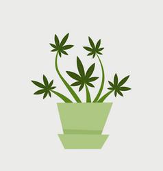 medical cannabis plant marijuana bush grows in pot vector image