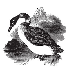 great northern diver vintage vector image