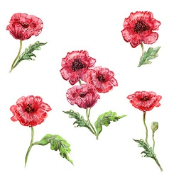 watercolor painting of set poppies vector image