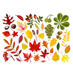 Bright autumn leaves and ripe nuts isolated vector