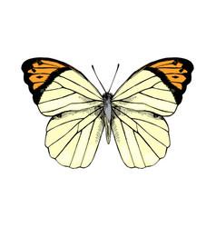 Hand drawn great orange tip - hebomoia glaucippe vector