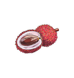 lychee isolated tropical fruit sketch whole half vector image
