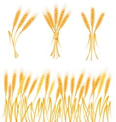 Ripe yellow wheat ears vector