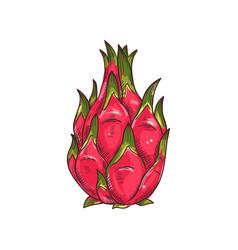 dragon fruit pitaya isolated sketch exotic pithaya vector image