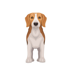 flat icon of standing beagle front view vector image