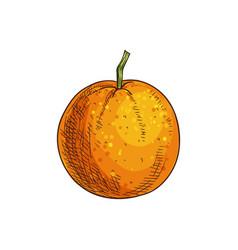Clementine mandarin citrus fruit isolated sketch vector