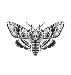 acherontia styx butterfly isolated vector image