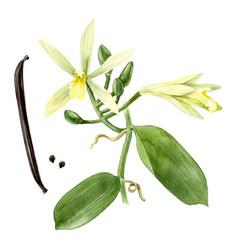 watercolor vanilla plant vector image vector image