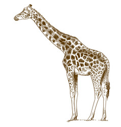 Engraving drawing giraffe vector