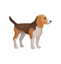 Lovely beagle puppy standing isolated on white vector