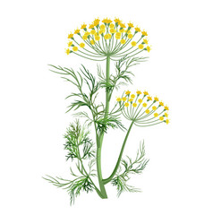 Dill herb with small yellow bloom and green stem vector
