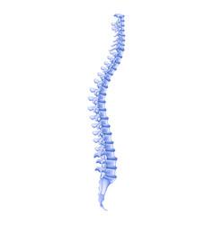 Realistic bone profile human spine vector