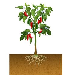 Jalapeno pepper plant vector