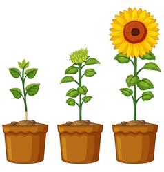 three pots of sunflower plants vector image vector image