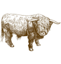 Engraving of highland cattle vector