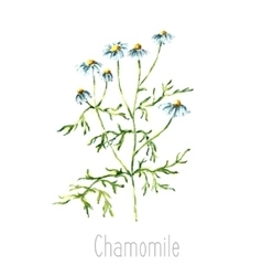 Watercolor chamomile herbs vector