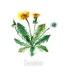 Watercolor dandelion herbs vector image vector image