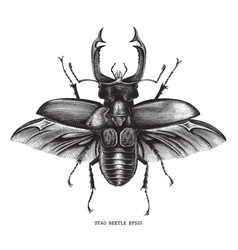 Antique of insect stag beetle bug engraving vector
