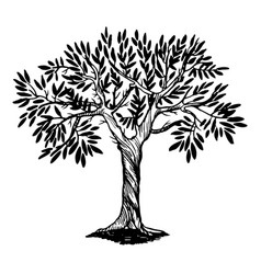 Olive tree engraving vector