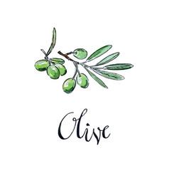 watercolor green olives vector image vector image