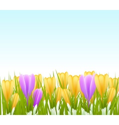 Crocus background vector