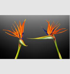 strelitzia reginae bird paradise vector image